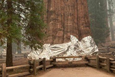 """Самое большое дерево на планете укрыли """"одеялом"""" (фото)"""