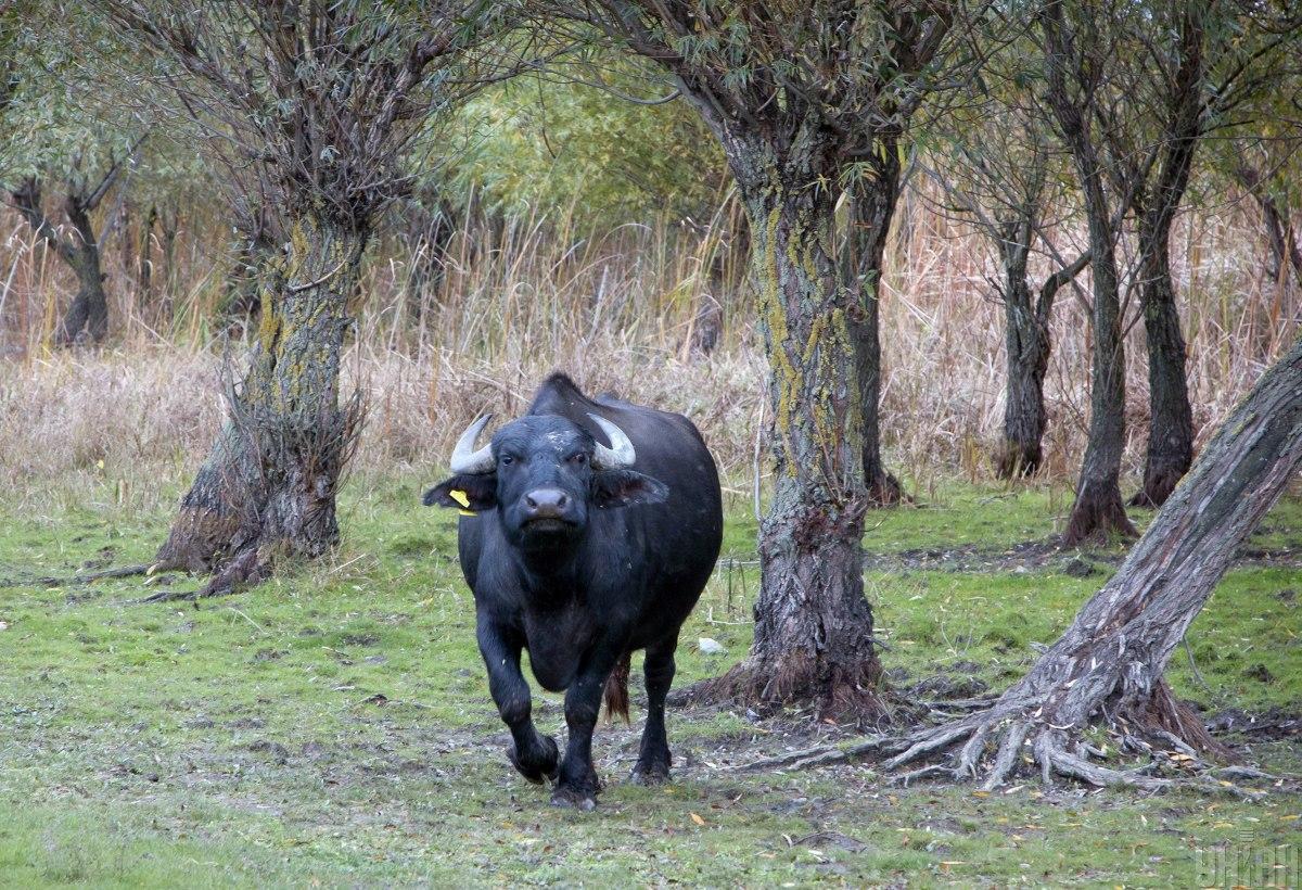 У Тернополі буйволи опинилися на волі / ілюстративне фото УНІАН
