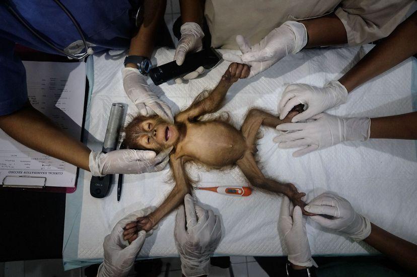 На снимке изображено спасение индонезийского орангутанга / фото @alainschroeder