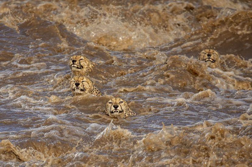 Пять гепардов пытаются переплыть реку / фото @captures_by_buddhilini
