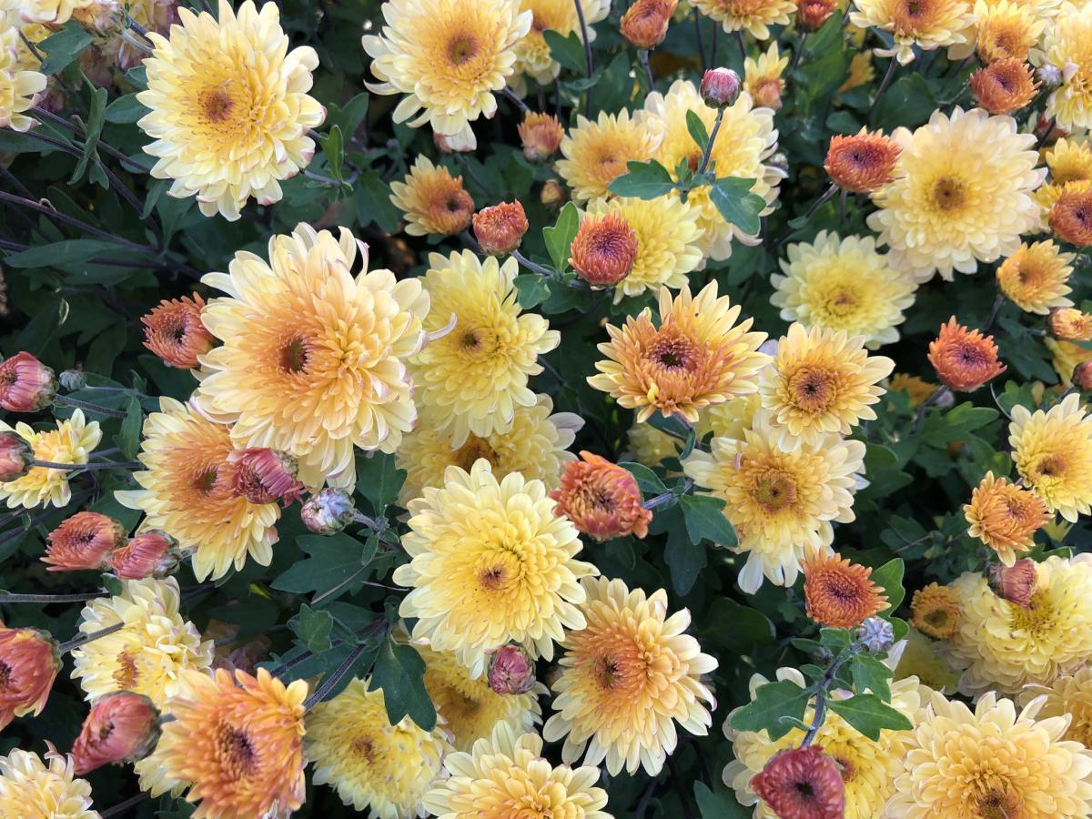 В Киеве можно увидеть множество сортов хризантем / Национальный ботанический сад им. Гришко НАН Украины