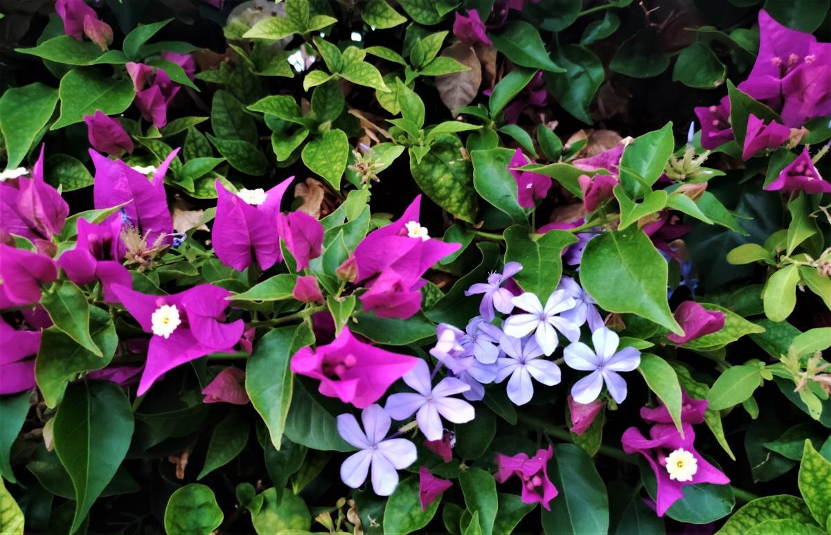 Квіти Кіпру / фото Марина Григоренко