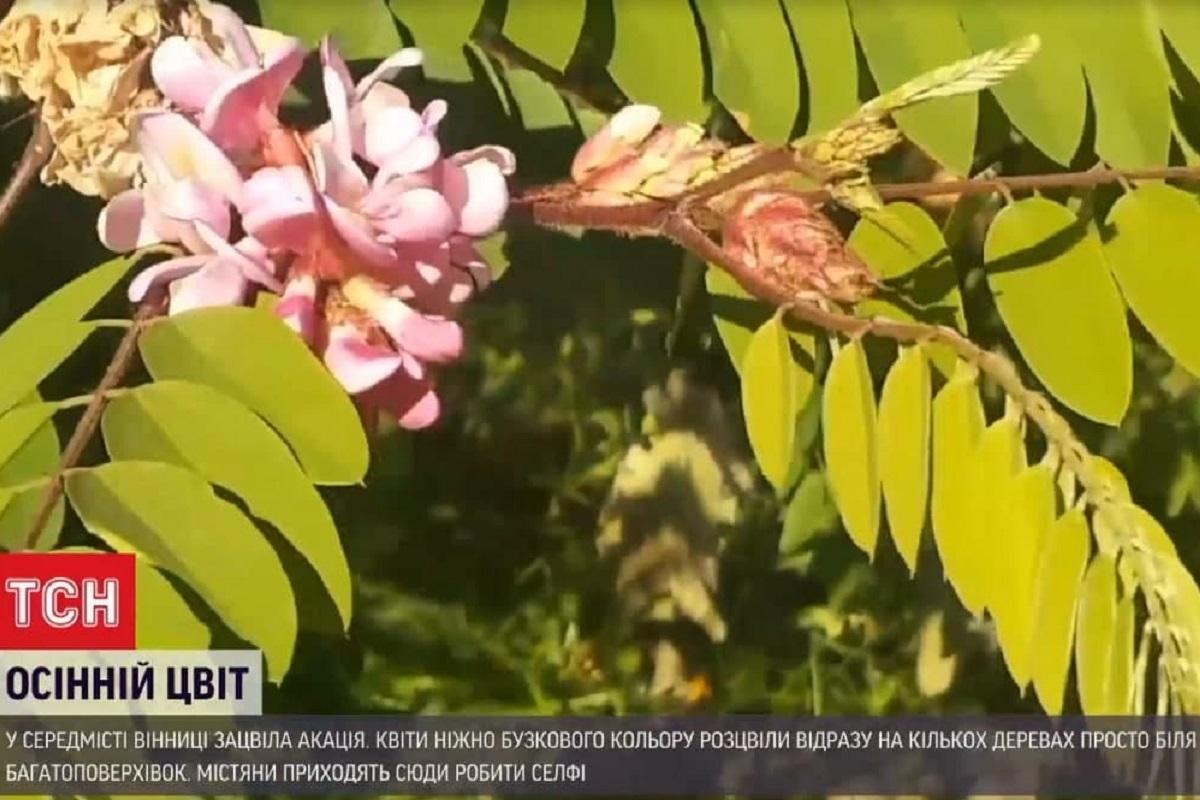 Цвітіння вже пошкоджує приморозок / скриншот з відео