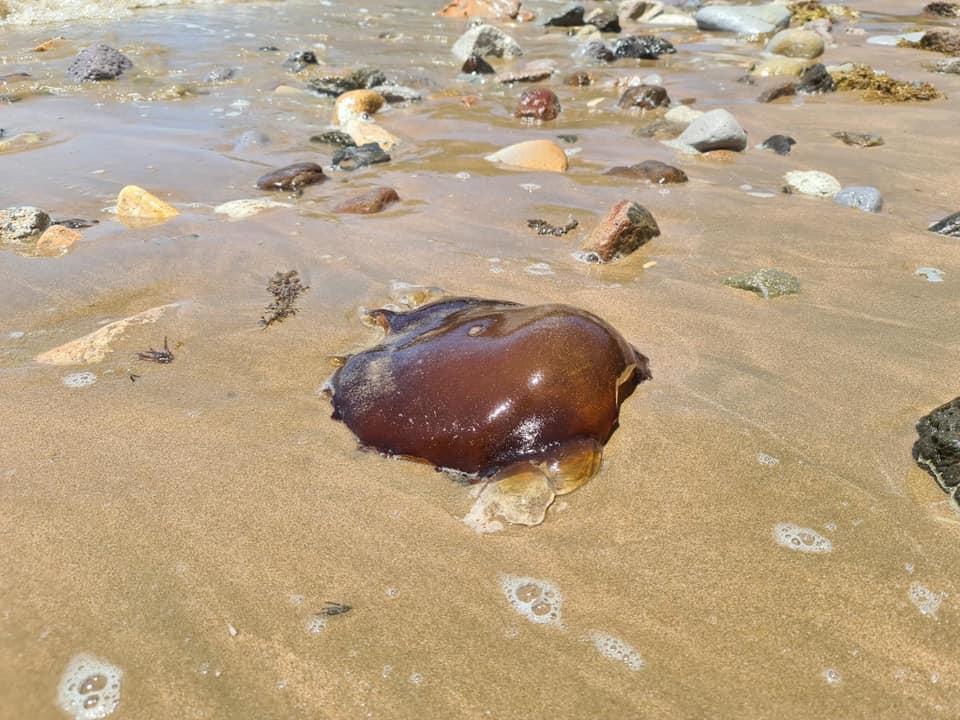 На берег из океана выбросило странное существо / фото Facebook Australian Native Animals